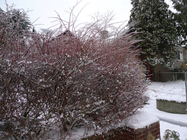 Ice-glazed shrubs in front of the house this morning.